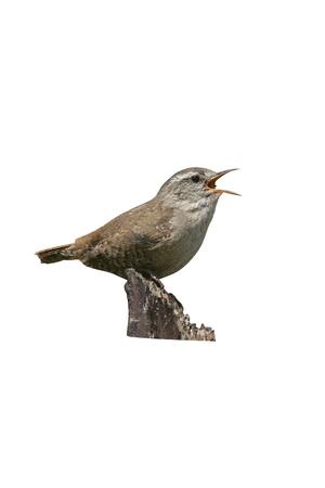 Wren, Troglodytes troglodytes, single bird on post