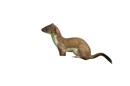 mammal: Stoat, Mustela erminea, single mammal, UK