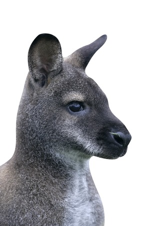 Red-necked wallaby, Macropus rufogriseus, single mammal on grass