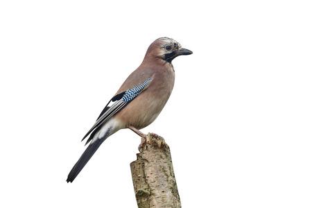 Jay, Garrulus glandarius, single bird on a branch, Warwickshire, November 2014 Stock Photo