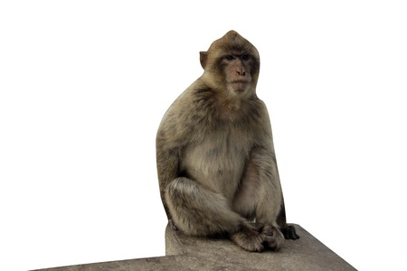 sylvanus: Barbary ape or macaque, Macaca sylvanus, single mammal in Gibralter