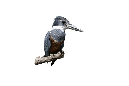 ringed: Ringed kingfisher, Megaceryle torquata, single bird on branch, Brazil Stock Photo