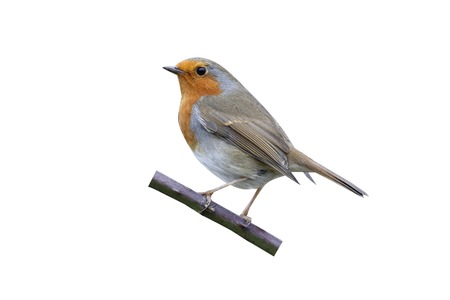 erithacus rubecula: Robin, Erithacus rubecula, single bird on perch, Warwickshire, January 2015 Stock Photo