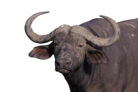 African buffalo,  Syncerus caffer, single mammal on grass, Zimbabwe Stock Photo