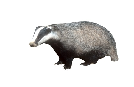 mammal: Badger, Meles meles, single mammal at dusk, Wales, May 2011 Stock Photo