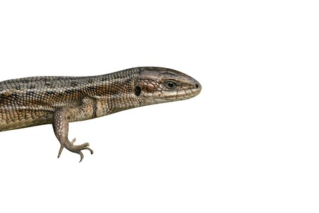 vivipara: Common Lizard, Lacerta vivipara, single animal in Dorset
