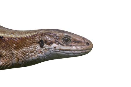 lacerta: Common Lizard, Lacerta vivipara, single animal in Dorset  Stock Photo