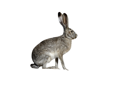Black-tailed jack rabbit, Lepus californicus, New Mexico, USA Stock Photo