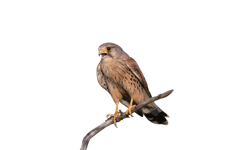 Kestrel, Falco tinnunculus, single male on branch, Hungary