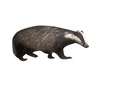 Badger, Meles meles, single mammal at dusk, Wales, May 2011 Stock Photo