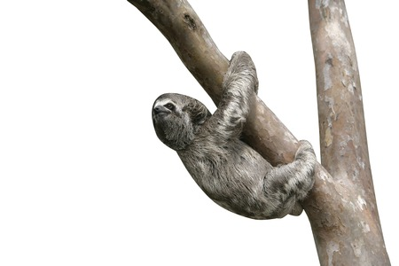 oso perezoso: Brown-throated three-toed sloth, Bradypus variegatus, Youngster, Brazil