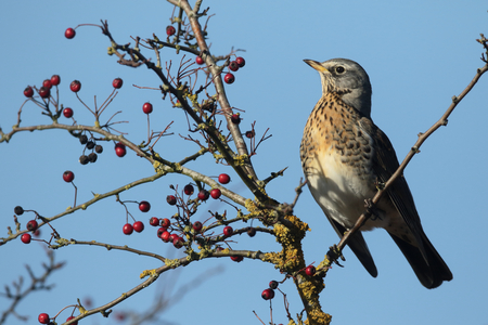 Fieldfare, Turdus pilaris, single bird on hawthorn bush with red berries, Warwickshire, December 2016 Stock Photo