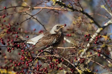 pilaris: Fieldfare, Turdus pilaris, Single bird in hawthorn bush, Warwickshire, December 2016