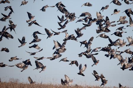 Wood pigeon, Columba palumbus, Group of birds in flight,  Warwickshire, December 2016