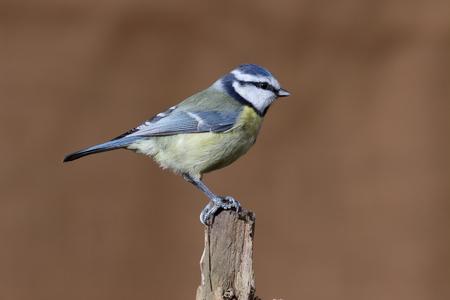 Blue tit, Cyanistes caeruleus, single bird on branch, Warwickshire, December 2016 Stock Photo