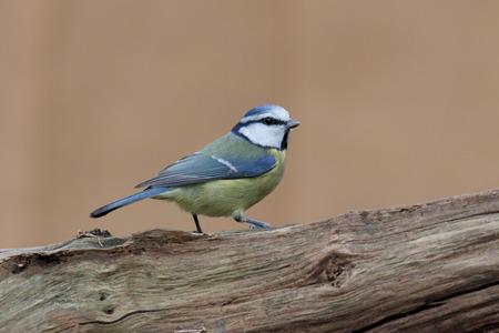 cyanistes: Blue tit, Cyanistes caeruleus, single bird on branch, Warwickshire, December 2016 Stock Photo