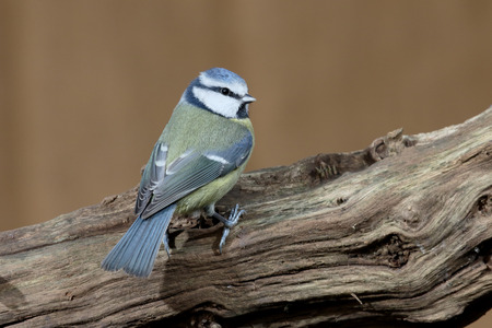 british garden bird blue tit cyanistes caeruleus single bird on branch warwickshire - Cyan Garden 2016