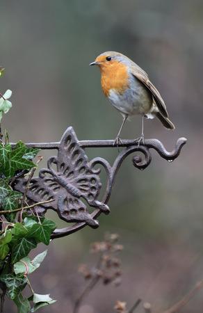 Robin, Erithacus rubecula,  single bird on fence, Warwickshire, January 2017