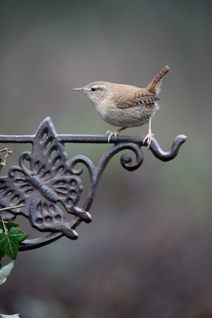 Wren, Troglodytes troglodytes,  single bird on fence, Warwickshire, January 2017 Stock Photo