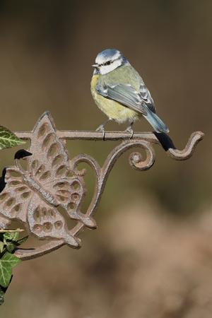Blue tit, Cyanistes caeruleus, Single bird on fence, Warwickshire, January 2017