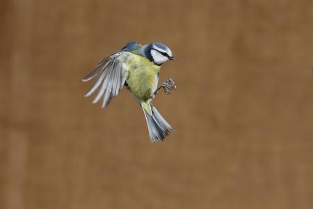Blue tit, Cyanistes caeruleus, Single bird in flight, Warwickshire, January 2017