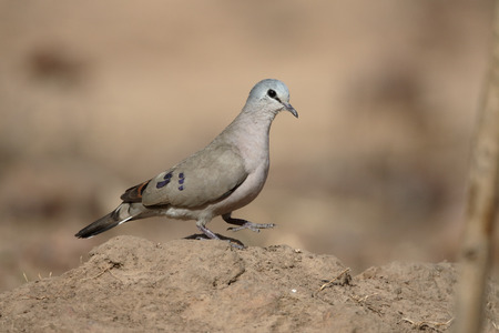 Black-billed wood-dove, Turtur abyssinicus, single bird on ground, Gambia, February 2016 Stock Photo