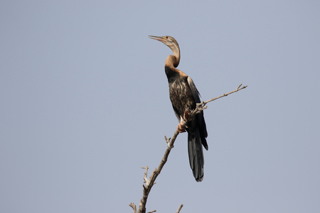 African darter, Anhinga rufa, single bird on branch, Gambia, February 2016