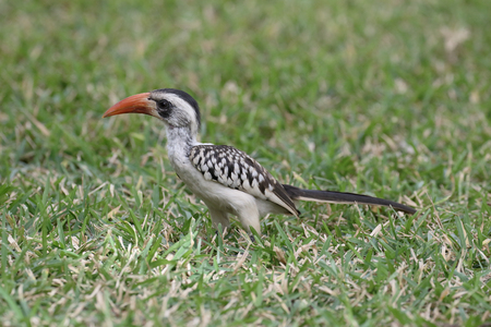 Red-billed hornbill, Tockus erythrorhynchus, single bird on grass, Gambia, March 2017