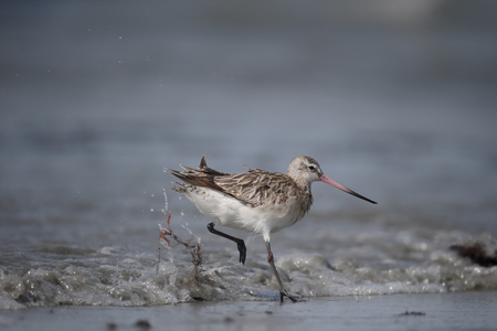 Bar-tailed godwit, Limosa lapponica, single bird by water, Gambia, February 2016