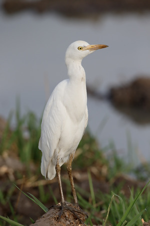 Cattle egret, Bubulcus ibis, single bird by water, Gambia, March 2017
