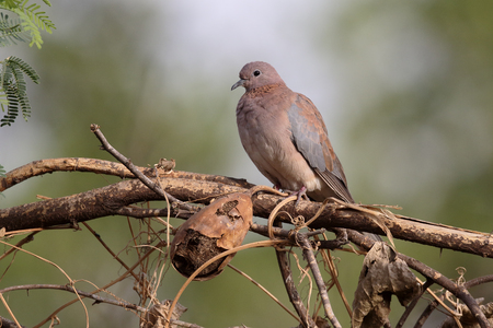 Laughing dove, Streptopelia senegalensis, single bird on branch, Gambia, February 2016