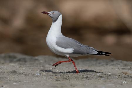 Grey-headed gull, Larus cirrocephalus, single bird on beach, Gambia