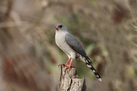 Gabor goshawk, Melierax gabar, single bird on branch, Gambia, February 2016