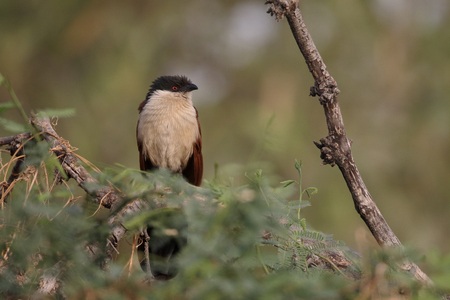 Senegal coucal, Centropus senegalensis, single bird on branch, Gambia, February 2016