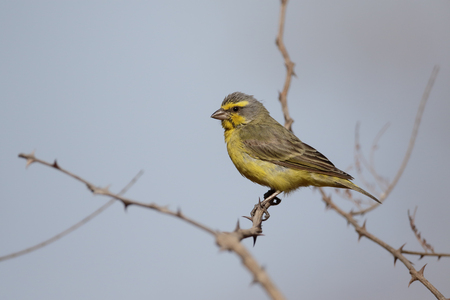 Yellow-fronted canary, Serinus mozambicus, single bird on branch, Gambia, February 2016 Stock Photo