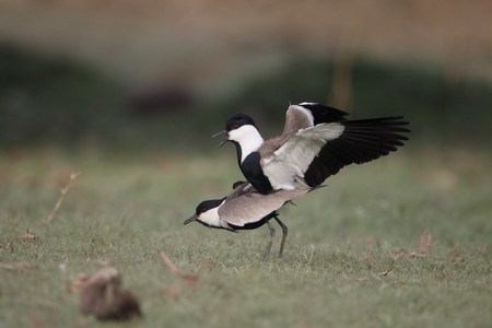 Spur-winged plover,  Vanellus spinosus, two birds mating, Gambia, February 2016 Stock Photo