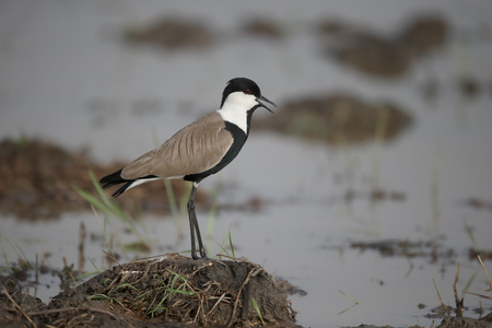 spur winged: Spur-winged plover,  Vanellus spinosus, single bird by water, Gambia, February 2016 Stock Photo
