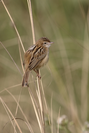 Zitting cisticola or fan-tailed warbler, Cisticola juncidis,  single bird on branch, Gambia, February 2016 Stock Photo