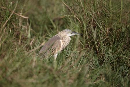 Squacco heron, Ardeola ralloides,  single bird on ground, Gambia, March 2017