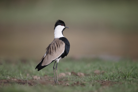 Spur-winged plover,  Vanellus spinosus, single bird by water, Gambia, February 2016 Stock Photo