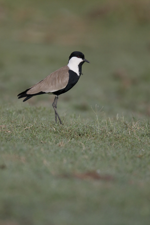 Spur-winged plover,  Vanellus spinosus, single bird on ground, Gambia, February 2016