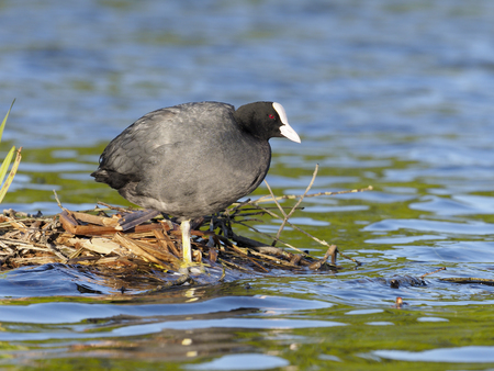 Coot, Fulica atra, single bird by water, London, April 2017