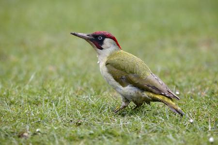 Green Woodpecker, Picus viridis, single bird on grass, Warwickshire, April 2017 Archivio Fotografico