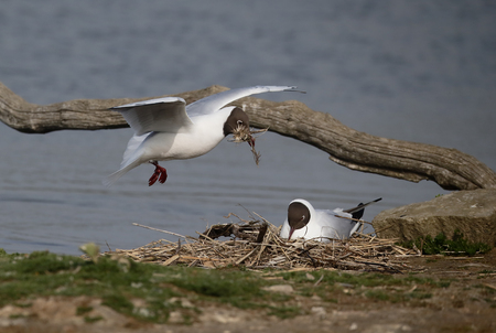 Black-headed gull, Chroicocephalus ridibundus, Two birds at nest, Suffolk, May 2017  Stock Photo