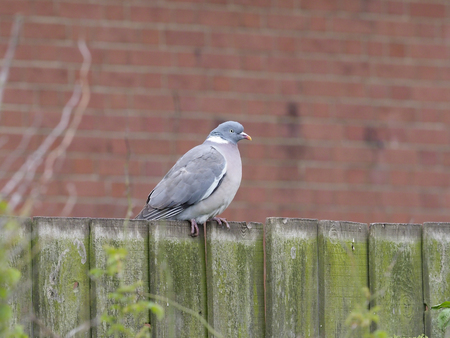 Wood pigeon, Columba palumbus, single bird on garden fence, Suffolk, May 2017 Banque d'images