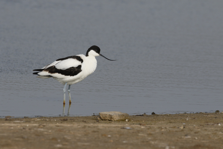 Pied avocet, Recurvirostra avosetta, single bird by water, Suffolk, May 2017