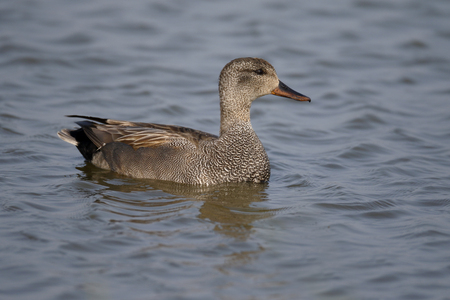 Gadwall, Anas strepera, single male on water, Suffolk, May 2017 Stock Photo