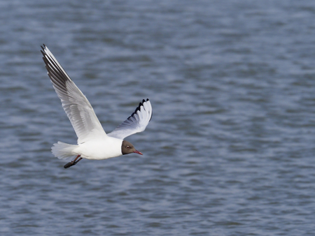 Black-headed gull, Chroicocephalus ridibundus, single bird in flight, Suffolk, May 2017 Stock Photo