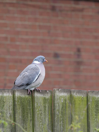 Wood pigeon, Columba palumbus, single bird on garden fence, Suffolk, May 2017 Stock Photo