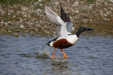 Northern shoveler, Anas clypeata. single male taking off, Suffolk, May 2017